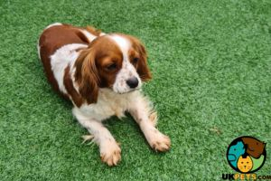 Cavalier King Charles Spaniel For Sale in the UK