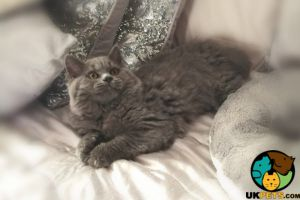 Available British Shorthairs