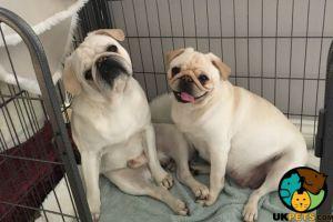 Cute Pug For Adoption