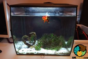 Goldfish Fish and Aquatic Breed