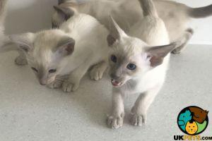 Siamese Advertisement UK Pets
