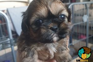 Cute Shih Tzu For Sale