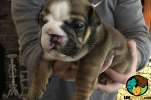 English Bulldog For Sale in the UK