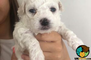 Bichon Frise For Sale in Great Britain