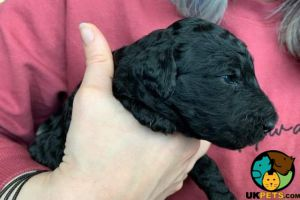 Standard Poodle For Sale in the UK