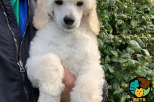 Cute Standard Poodle For Sale