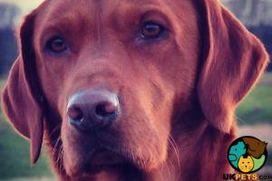 Labrador Retriever For Stud