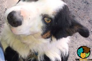 Border Collie For Sale in Lodon