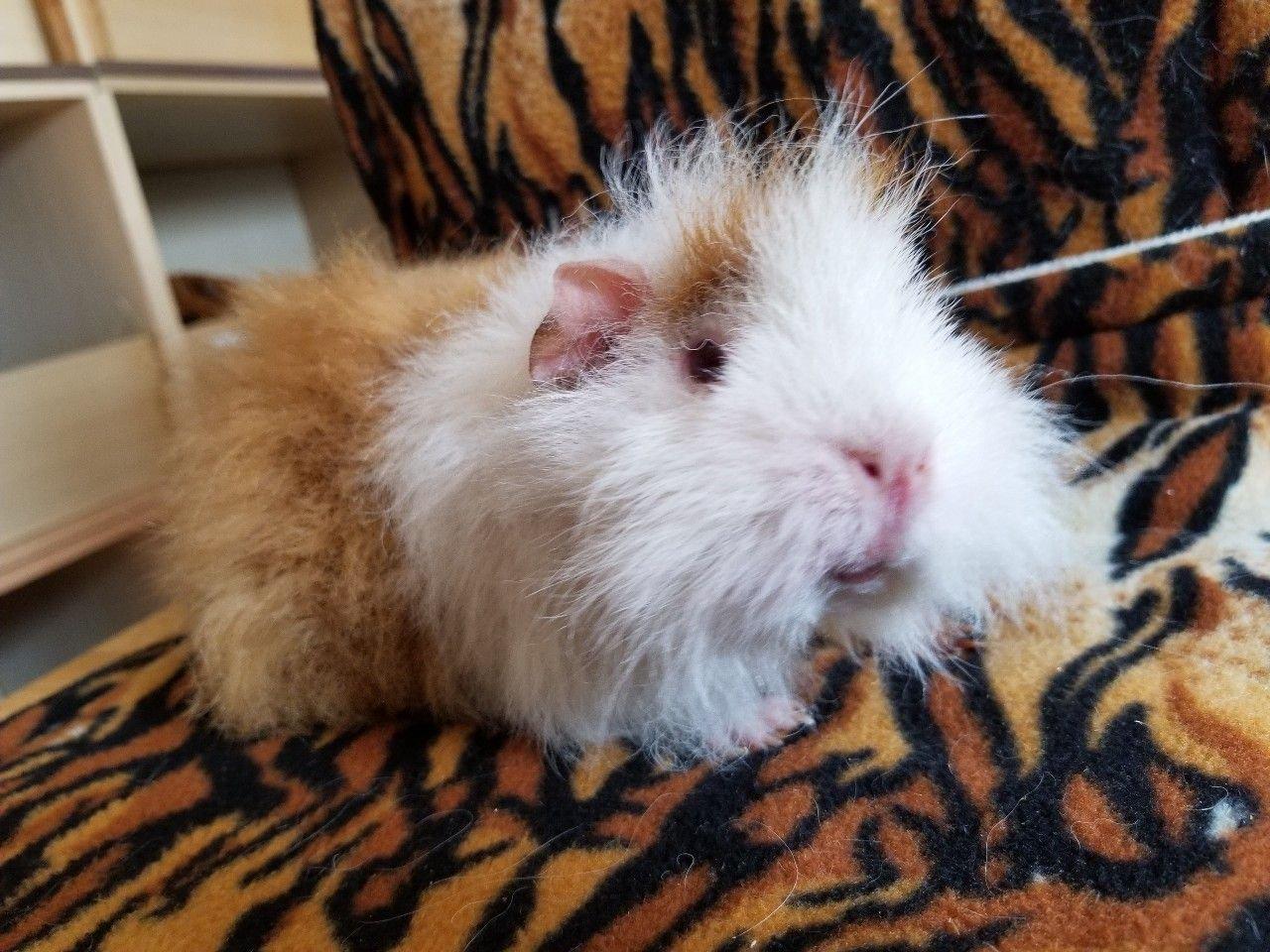 Young Adult Minipli Breeding Sow Pet Home 233637 Uk Pets
