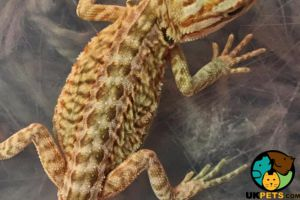 Bearded Dragon Online Listings