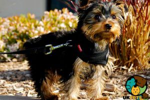 Cute Yorkshire Terrier Wanted