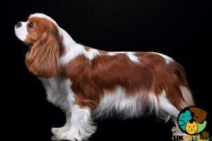Cute Cavalier King Charles Spaniel Wanted