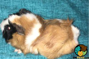 Guinea Pig Online Listings