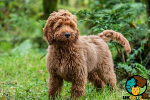 Cockapoo Wanted in the UK