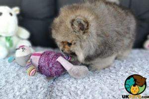 Pomeranian For Sale in Lodon