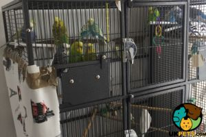Budgerigar For Sale in Lodon