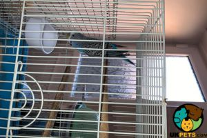 Budgerigars for Rehoming