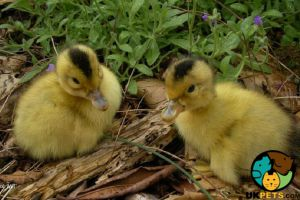 Duck Poultry Breed