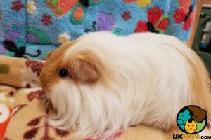 Guinea Pig for Rehoming