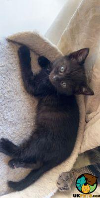 Female Black Bengal Kittens For Home Uk Pets