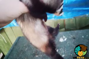 Available Ferrets