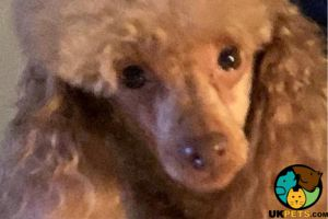 Toy Poodle For Stud in Great Britain