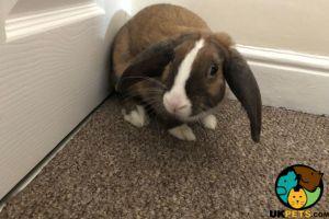 English Lop Rabbits Breed