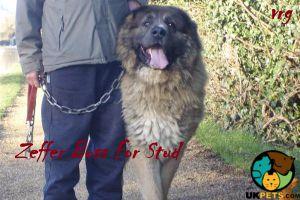 Caucasian Shepherd Dog Dogs Breed