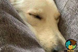 German Shepherd For Adoption in Lodon