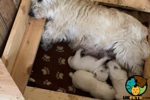 West Highland Terrier Online Listings