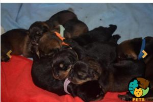 Rottweiler For Sale in the UK