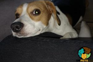 Beagle For Sale in the UK