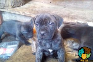 Cane Corso Dogs Breed