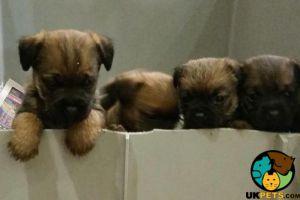 Border Terrier Advertisement UK Pets