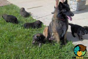 Belgian Shepherd Dog Online Listings