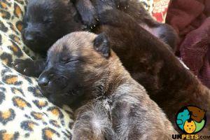 Belgian Shepherd Dogs for Rehoming
