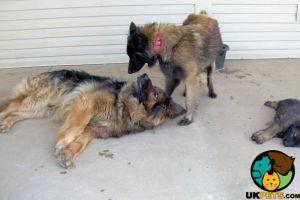 Belgian Shepherd Dog For Sale in Great Britain
