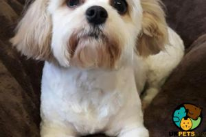 Available Cavachons