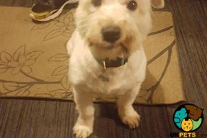 Available German Wirehaired Pointers