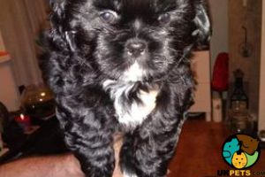 Shih Tzu for Rehoming