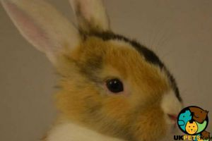 Havana Rabbits Breed