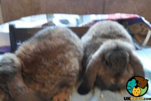 Dwarf Lops for Rehoming