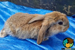 French Lop for Rehoming