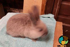 Lilac Rabbits Breed
