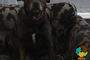 Staffordshire Bull Terrier Online Ad