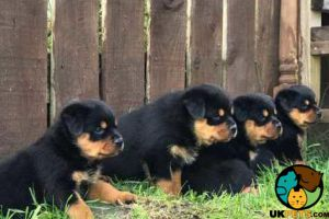 Rottweiler Dogs Breed