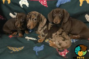 Dachshund Dogs Breed