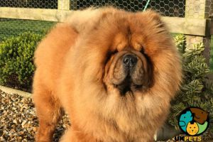 Chow Chows For Stud