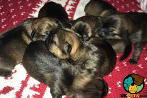 Border Terriers For Sale