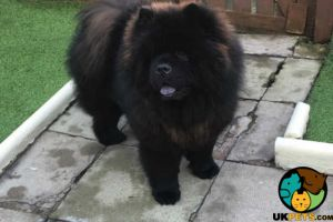Chow Chow For Stud in Lodon